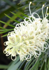 Moonlight grevillea with white flowers